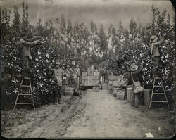 Picking Lemons Rare Original Photograph - Limoneira Company