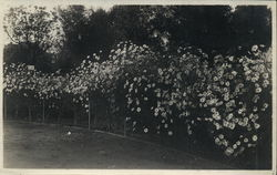 Man, Hedges in Oakland Park Rare Original Photograph