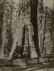 """General Sherman"" Big Tree Rare Original Photograph"