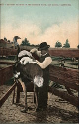 Cutting Plumes at the Ostrich Farm