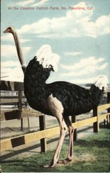 At the Cawston Ostrich Farm