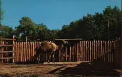 Dromedary Camel, Great Plains Zoo