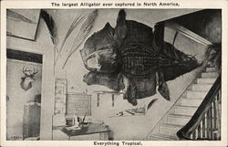 The largest Alligator ever captured in North America Postcard