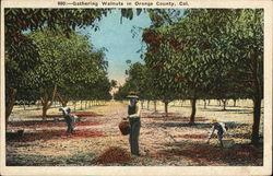 Gathering Walnuts