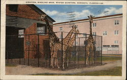 Giraffes at Ringling Bros. Winter Quarters