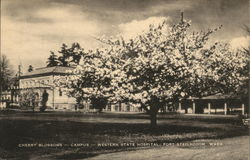 Cherry Blossoms at Campus of Western State Hospital