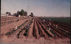 Carrot Harvest in Rich Imperial Valley