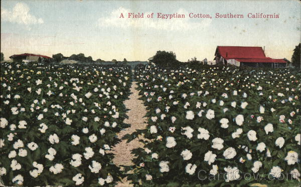 A Field of Egyptian Cotton California