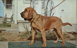 Fine Registered Bloodhounds