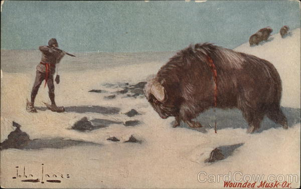 Wounded Musk-Ox, Musk Ox Shot by Hunter John Innes