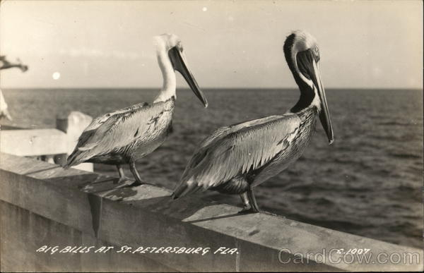 Big Bill Pelicans at St. Petersburg, Florida Birds
