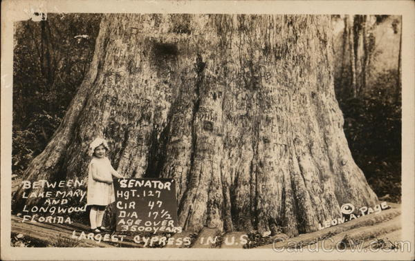 Senator, Largest Cypress Tree in US, Between Lake Mary and Longwood, Florida