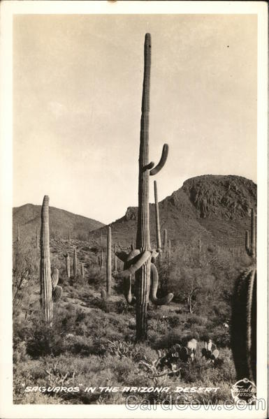 Saguaros in the Arizona Desert Cactus & Desert Plants