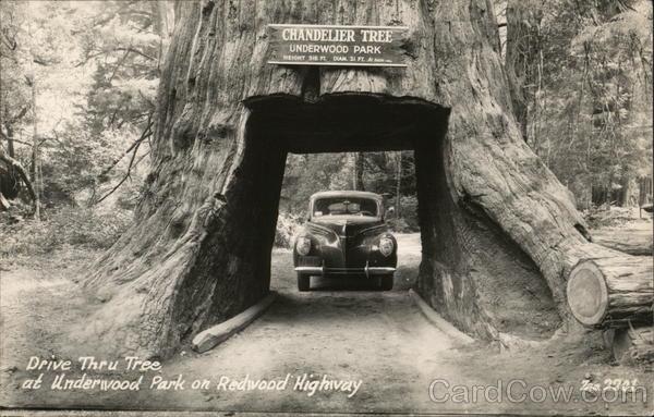 Chandelier Tree, Underwood Park Leggett, CA Postcard