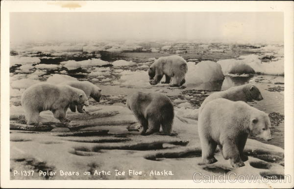 Polar Bears on Arctic Ice Floe Alaska
