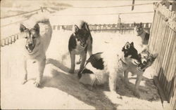 Dog Sled Pups