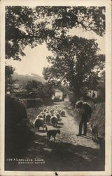 Sheep Being Hereded Down A Lakeland Lane, Tewkesbury, UK