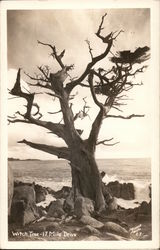 Witch Tree-17 Mile Drive