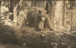 Brown Bear on a Fallen Tree