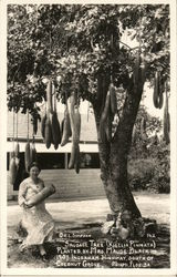 Sausage Tree (Kigelia Pinnata) Planted By Mrs. Maude Black, 1907