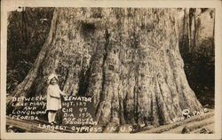 """Senator"", Largest Cypress Tree in US, Between Lake Mary and Longwood, Florida"