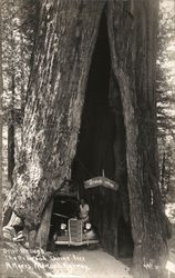 Redwood Shrine Tree Postcard