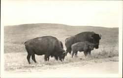 Buffalo, Wind Cave National Park