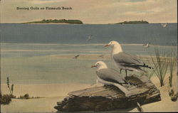 Herring Gulls On Plymouth Beach