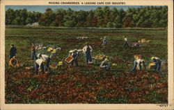 Picking Cranberries, A Leading Cape Cod Industry