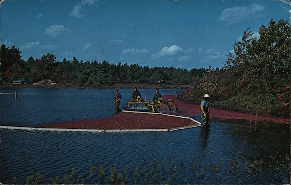 Harvesting Cranberries on Cape Cod Massachusetts Hugo Poisson