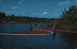 Harvesting Cranberries on Cape Cod