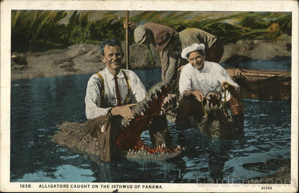 Alligators Caught on the Isthmus of Panama