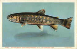 Eastern Brook Trout, Photographed Alive, Yellowstone Park