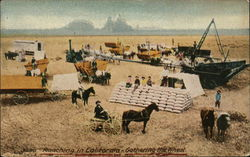 Ranching in California - Gathering the Wheat