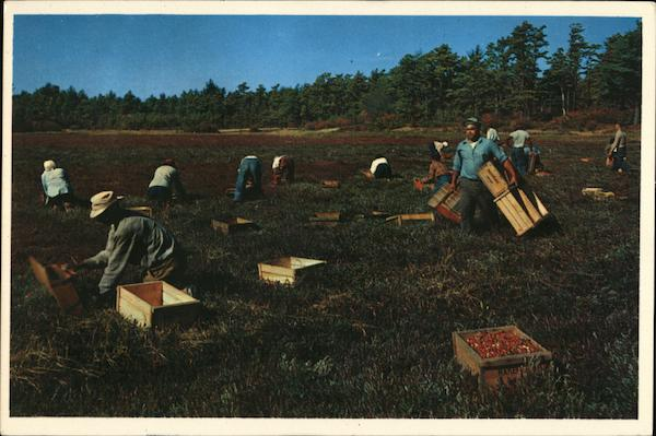 Cranberry Picking Time Cape Cod Massachusetts