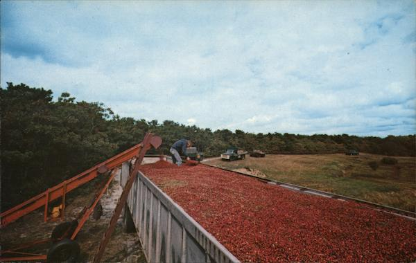 Harvesting Cranberries Cape Cod Massachusetts