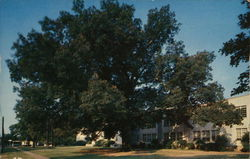 Oak Tree, High School Campus Postcard