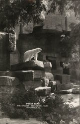 Polar Bear, The Chicago Zoological Park