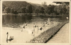 Swans in the Park