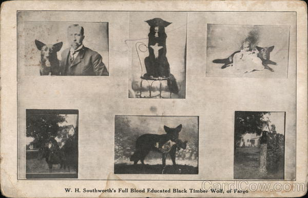 W. H. Southworth\'s Full Blood Educated Black Timber Wolf Fargo, ND ...