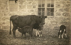 Cow with Calves Nursing
