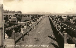 Cattle Feeding in the Pecos Valley