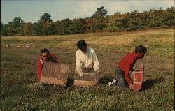Cranberry Harvesting on Cape Cod