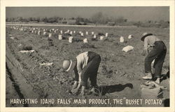 Harvesting Idaho Falls Main Product, The Russet Potato