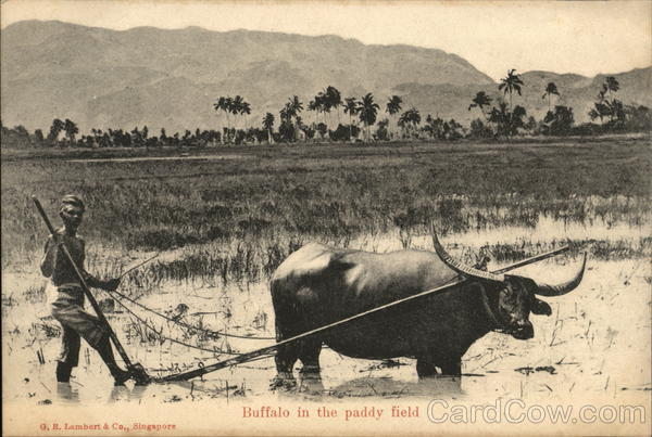 Buffalo in the Paddy Field Singapore Southeast Asia