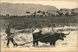 Buffalo in the Paddy Field