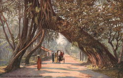 Banyan Tree Arch