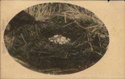 Alligator's Eggs and Nest Postcard
