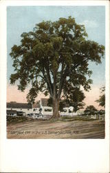Largest Elm in the U.S.