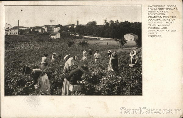 Gathering Roses for the Manufacture of Perfume Grasse France